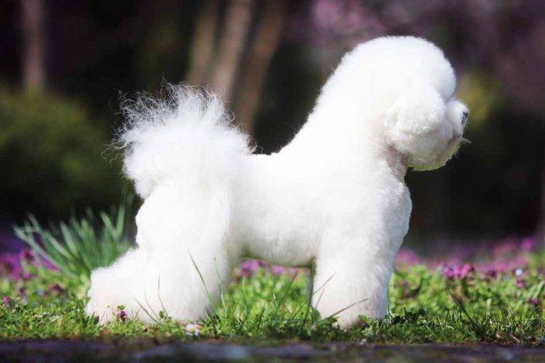 picture of a bichon frize