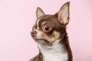 Picture of a chihuahua