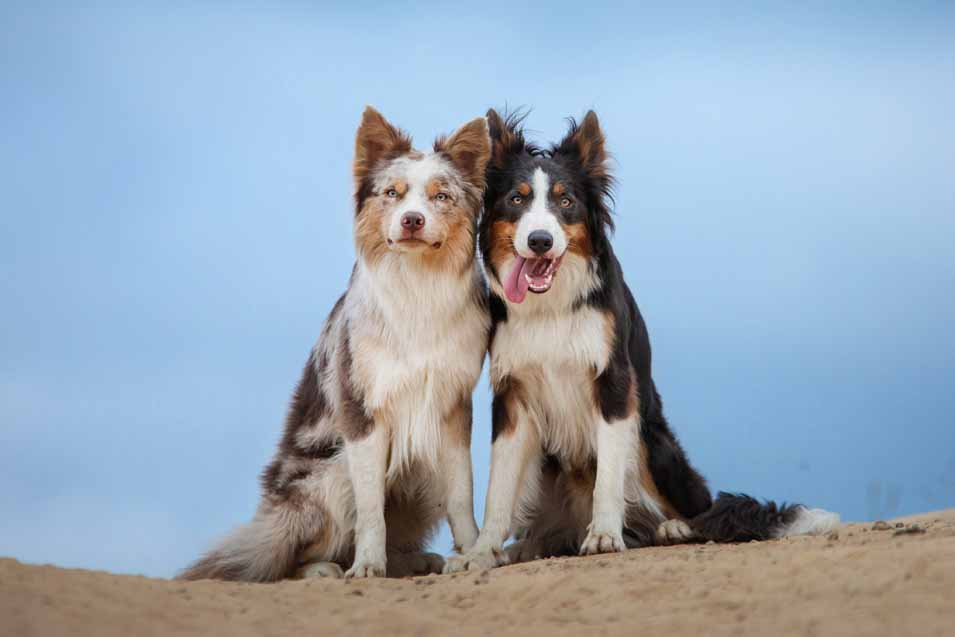 Picture of 2 Collie Dogs