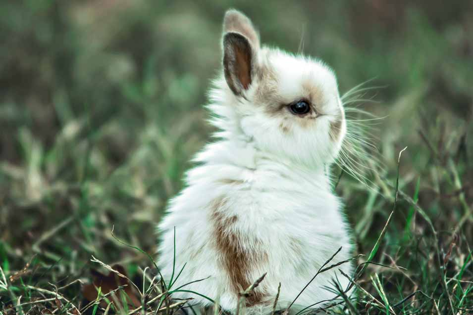 Picture of a white and brown bunny