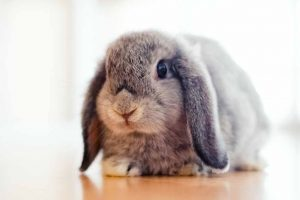 Picture of a Holland Lop rabbit