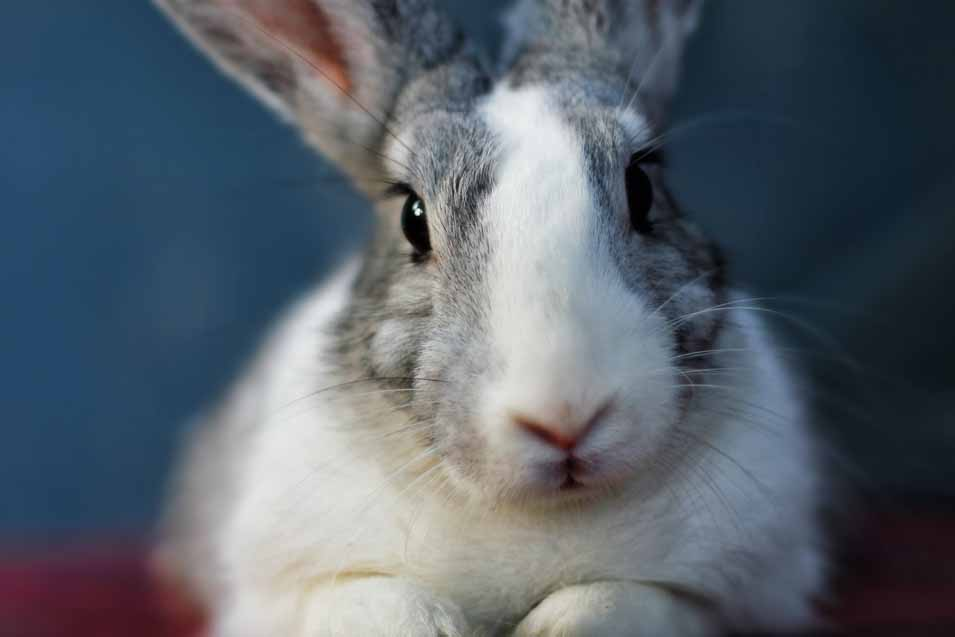 Picture of a grey and white rabbit
