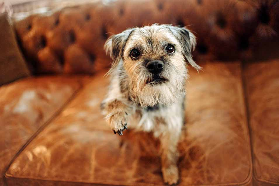 Picture of a dog on a leather sofa