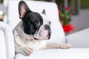 How to Remove Pet Odor from Furniture