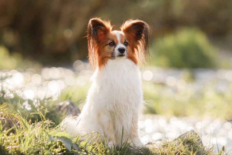 Picture of a Papillon