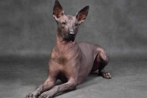 Picture of a Xoloitzcuintl