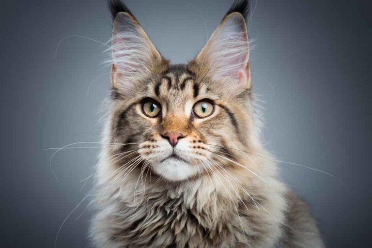 Picture of a brown Maine Coon Cat