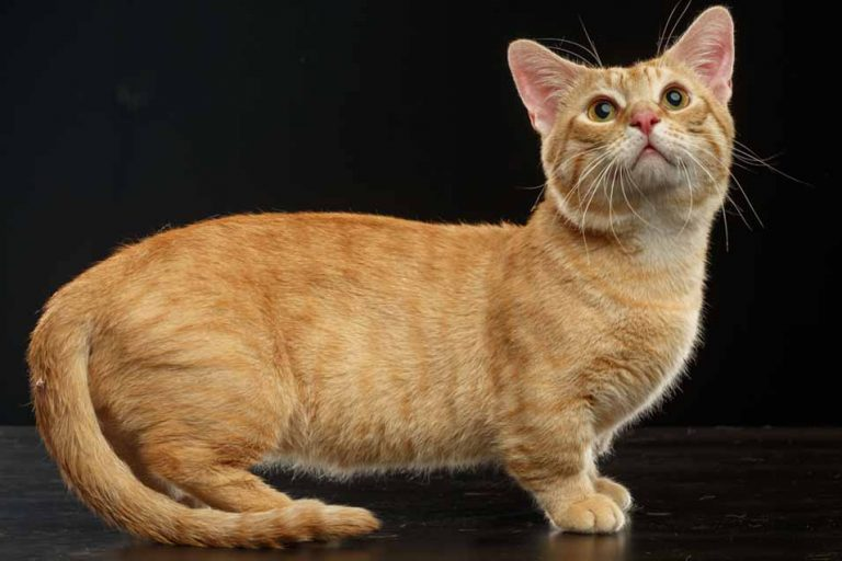 Munchkin Cat Picture