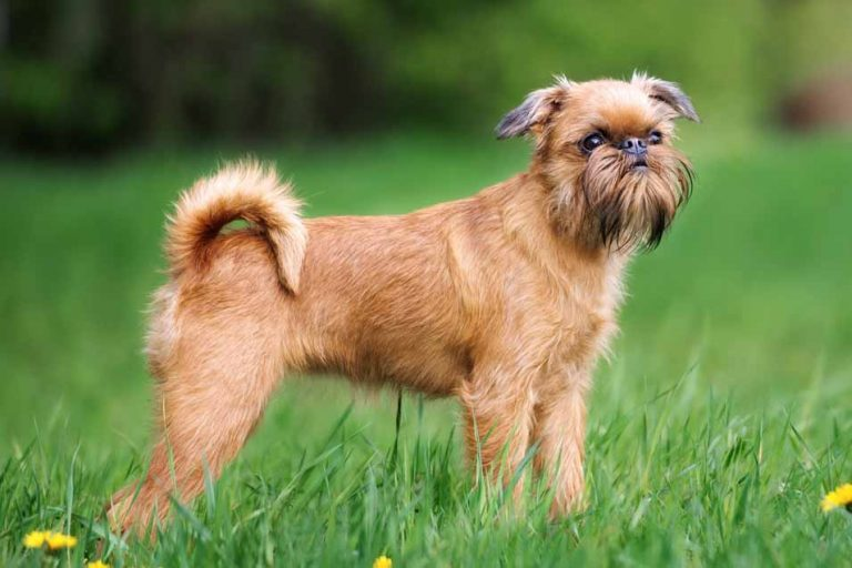 Picture of a Brussels Griffon in Yard