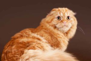 Picture of a Scottish Fold Cat
