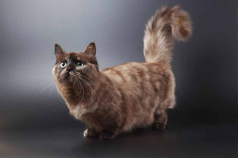 Picture of a munchkin cat