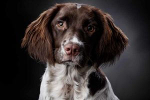 Picture of a Sporting Dog