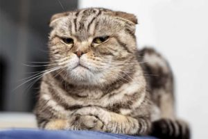 Picture of a cranky cat