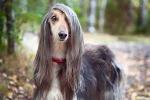Picture of an Afghan Dog