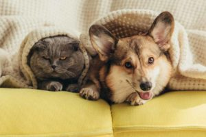 Picture of a dog and cat under a blanket