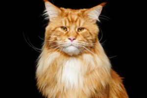 Picture of an orange Maine Coon Cat