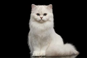 Picture of a white cat