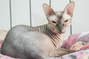 Picture of a hairless cat